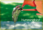 Hummingbird in Torpor