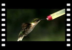 Slow Motion Hummingbird Wings