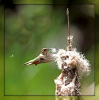 A Hummingbird Gathering Fluff