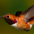 Rufous Hummingbird (Male) By: Walter Nussbaumer
