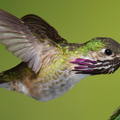 Male Calliope Hummingbird By: Walter Nussbaumer