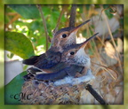 Lily and Peep ready to fledge April 27, 2015