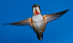 Flirting Female Rufous Hummingbird By: Walter Nussbaumer