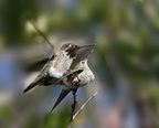 Anna's Hummingbirds mating photo by Tom Grey.